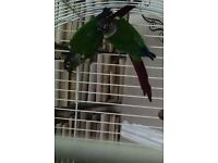 2 beautiful young amazon blue tail conures plus cage