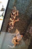 Fancy leopard geckos need to go!!