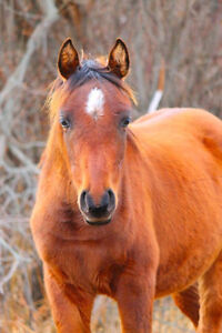 Reining and Working Cow Horse Prospect 2014 Arabian Colt