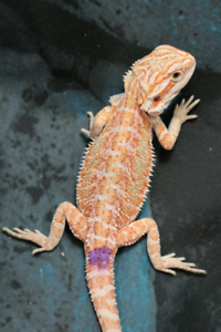 Bearded Dragons Hypo | Reptiles and Amphibians in Ontario