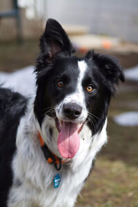 wanted i'm looking for a free border collie