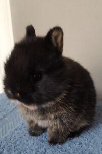 Purebred Netherland Dwarf Baby Rabbits
