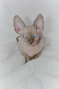 Registered purebred sphynx kitten