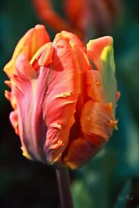 Fall Bulb (TULIPS) Blowout: Save 50-70% OFF ENTIRE INVENTORY Kitchener / Waterloo Kitchener Area image 4