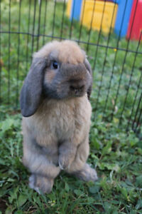 Female Holland Lop Bunny Needs a home