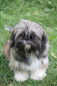 Hypoallergenic Shih-Tzu pups for sale