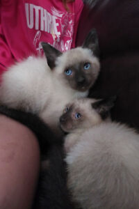 Siamese kittens ready for Christmas