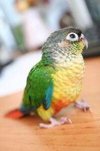 ❤★❤ Adorable,Tame CONURE Babies With CAGE❤★❤ Stratford Kitchener Area image 2