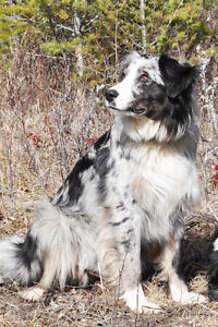 1 year old neutered male Australian Shepherd X