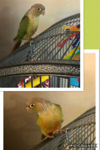 Loving Conure Parrot with Huge Cage and Accessories