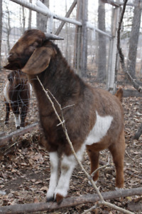 All-naturally Raised Billy Goats