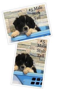 Australian Shepard Puppies Edmonton Edmonton Area image 5