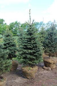 Specimen Evergreen Trees (Spruce Fir Pine Hemlock)