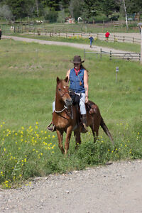 16 yr old Rocky Mountain Mare 14.2hh