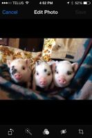 Micro Piglets - best family pet ever!