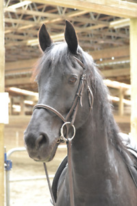 12 yr old ure bred registered friesian mare for sale