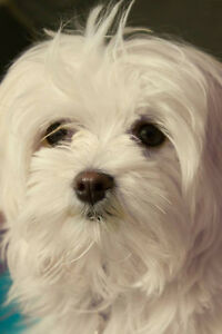 Maltese male to sire my Morkie