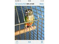 Yellow sided conure parrots