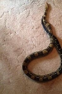 adult female BCI boa