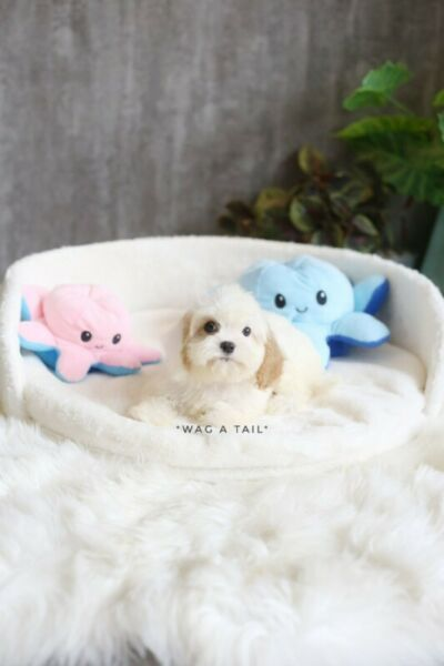 Super Cute & Small CAVAPOO puppies available [HDB approved]