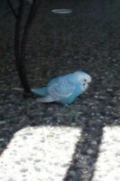 Beautiful Blue Parakeet/bird seen in Huntington Hills area