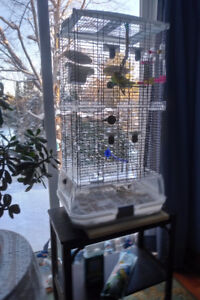 2 healthy male budgies with large newer cage
