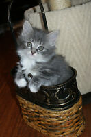 GORGEOUS KITTENS FOR A LOVING HOME