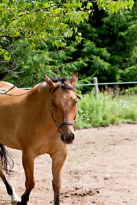 Quarter Horse for sale - A great Christmas gift!!!