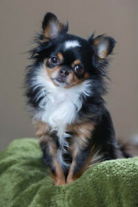 Looking for a long haired chihuahua or chihuahua mixed puppy