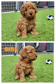 Beautiful Red and apricot miniature poodle puppies