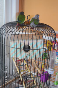 Hand tamed babies conures