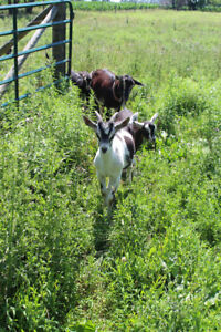 Dairy Goats for Sale!
