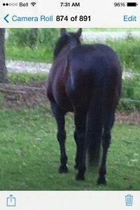 Standing Stud 'Foundation Bred' London Ontario image 2