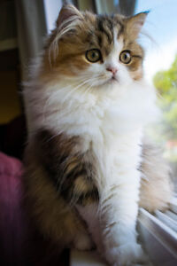 Persian kittens pure race for sale