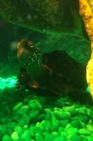 Young male reeves turtle for sale.