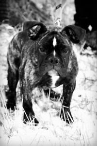 3 Year old English Bulldog for Sale revised phone number
