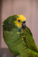 Blue Fronted Amazon and cage