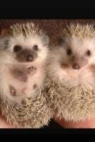 Mother and Daughter Hedge Hogs