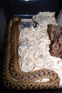 Gopher snakes selling asap