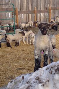 50 Dorset/Suffolk cross Ewe Lambs