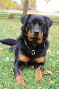 Bailey - Lost Female Dog - Black and Brown Rottweiler Mixed Bree