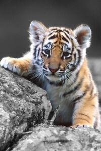 would love to view baby tigers in halifax