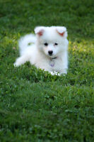 Looking for an American Eskimo puppy
