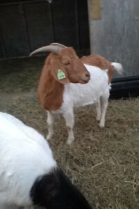 2 very nice goat for sale!! Boer goat and Pygmy cross goat