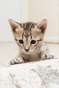 Savannah Kittens for Sale - Bengal lovers stop here
