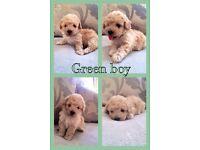Beautiful poochon puppys bichon Frise x toy poodle