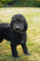 Teddybear Goldendoodle pups, second gen(fb1) hypo-allergenic