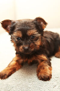 Purebred Registered Teacup Yorkie Puppies