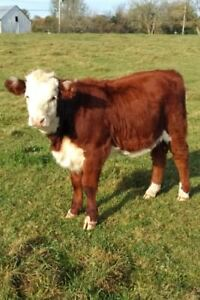 Organic Grass Fed Herefords