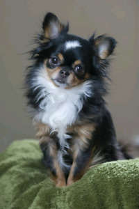 Searching for: Long-hair Chihuahua Male